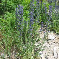 Blueweed plant - Juliet Craig