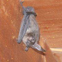 Bat photo by Sharon Laughlin