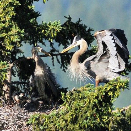 Report Great Blue Herons in the Columbia River Basin