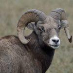 KCP Stewardship - Sheep Goat Separation - Lyle Beaudoin