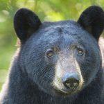 KCP Stewardship - Black Bear Wildsafe BC