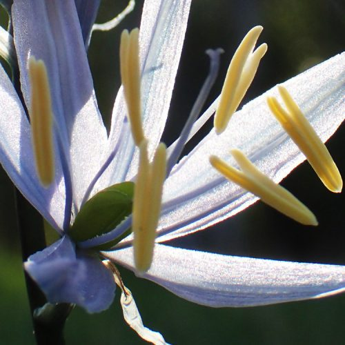 Report and Monitor Camas Populations