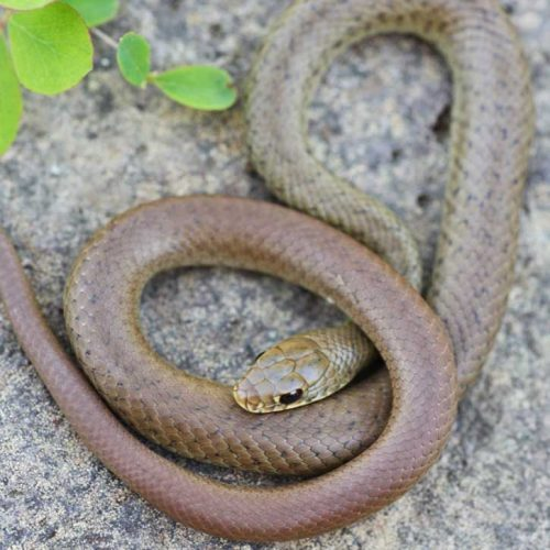 Report North American Racers and Other Reptile Sightings