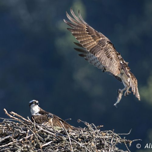 Report Osprey Nests and Sightings