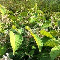 KCP Stewardship - Invasive Plant - knotweed