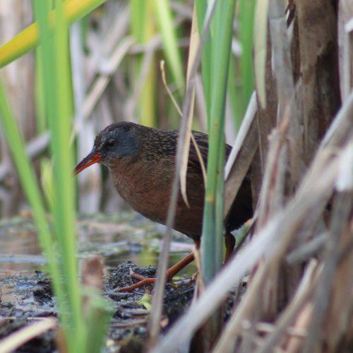 Monitor Marsh Birds
