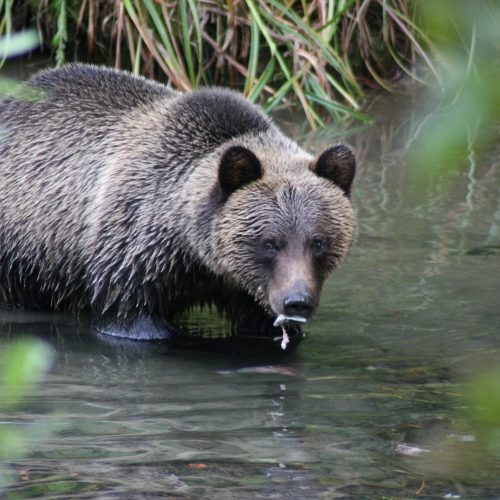 Coexist with Grizzly Bears