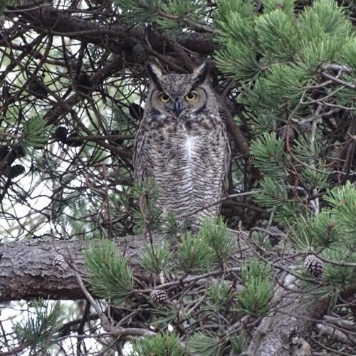 Nocturnal Monitoring of Owls