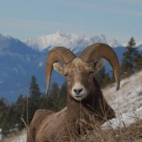 bram-rossman-photos-271_bighorn-sheep