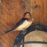 barn-swallow-rachel-darvill