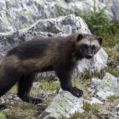Report Wolverine sightings