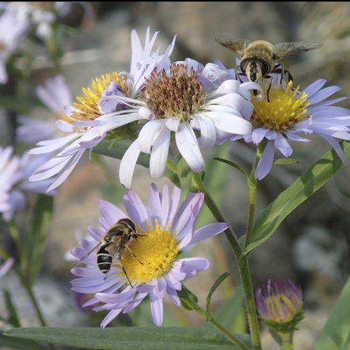 Wildflowers for Pollinators