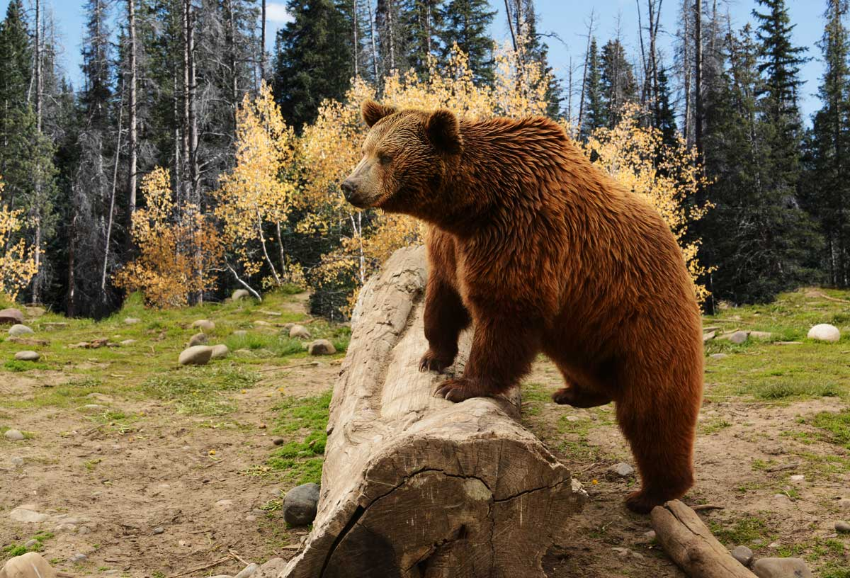 Local Conservation Funds support the grizzly bear in the Kootenays