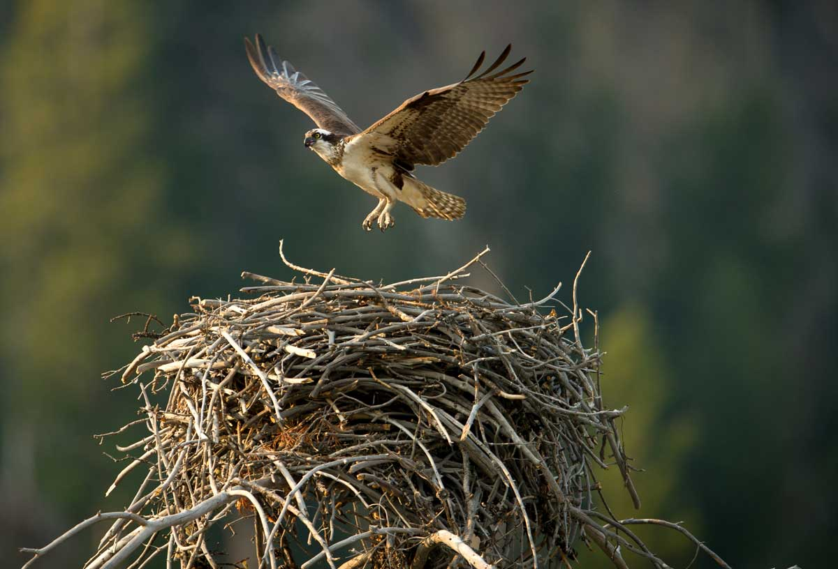 The Local Conservation Fund supports osprey nesting